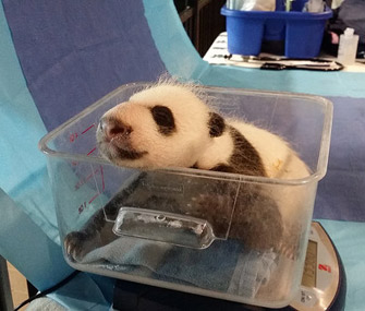 National Zoo Panda cub getting weighed