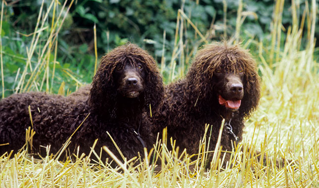 Irish Water Spaniel Breed Information