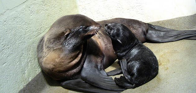A Northern fur seal pup sits with mom Ursula at the New England Aquarium.