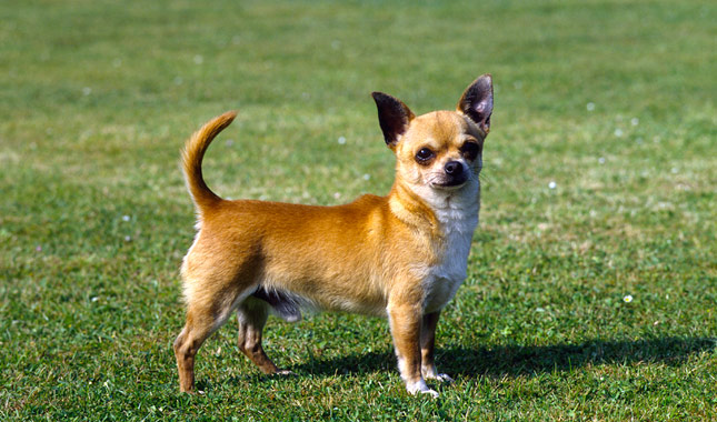 How Old Do Male Dogs Need To Be To Breed
