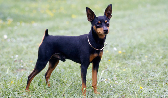 Image result for miniature pinscher