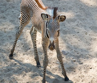 An endangered Grevy's zebra was born last weekend at Chicago's Lincoln Park Zoo.