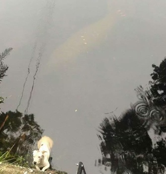 The shadow of a manatee can be seen in the top part of this photo of a dog who was rescued by Tampa police.