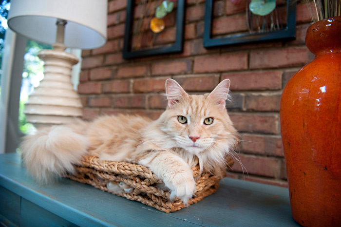 Maine Coon Cat Breed Information