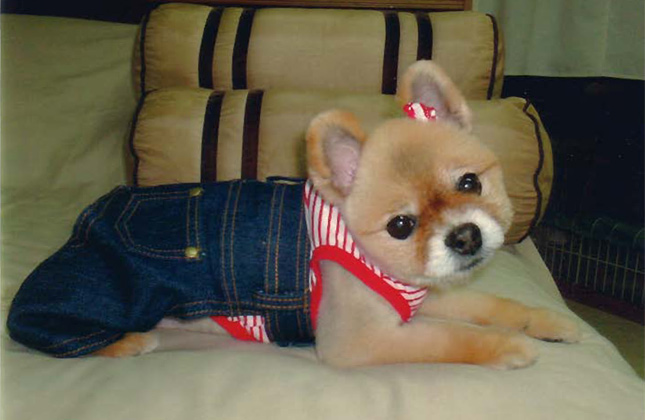 Fashionable Pomeranian wearing jean overalls