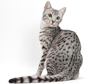 Egyptian Mau White Background
