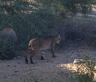 Bret Michaels tweeted this photo of a bobcat who lives near his Arizona home.