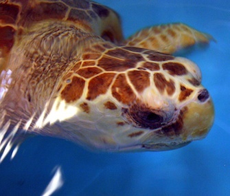 Caton the sea turtle