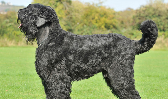 Black Russian Terrier Guard Dog For Sale
