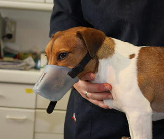 Dog in Muzzle at Vet