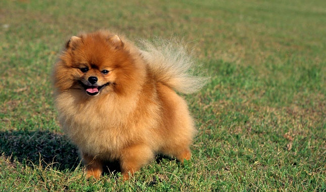 pomeranian intelligence pomeranian breed information 4283