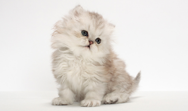 Persian Cat Breed Information