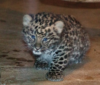 Named for Russia's Olympic city, Sochi the Amur leopard cub is 7 weeks old.