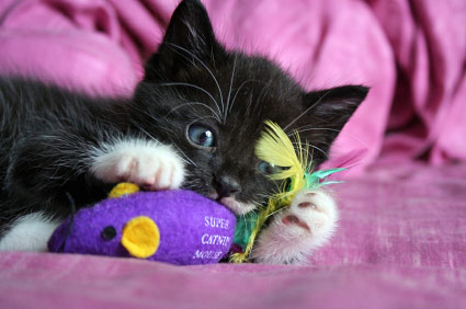 black kitten playing with catnip toy