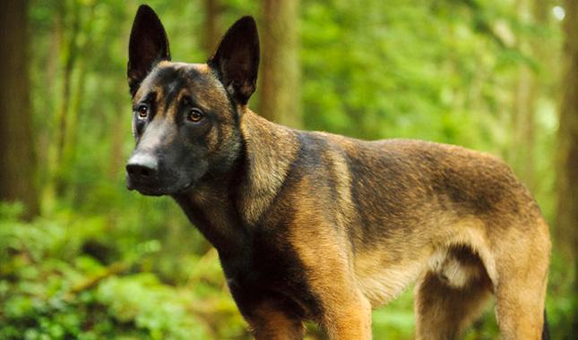 Malawa Dog Breed