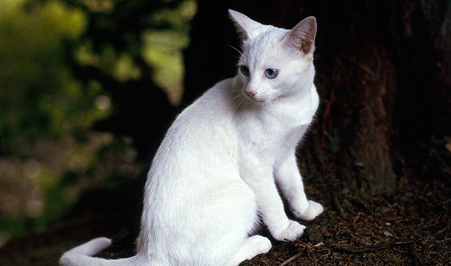 Oriental Cat Breed Information