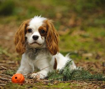 Dog Breed Cavalier Puppy