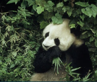 A new report from the Chinese government finds a jump in the wild giant panda population.