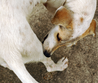 canine sarcoptic mange more common than people think
