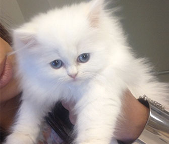 Kim Kardashian's kitten, Mercy.