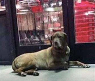 Zaley, a chocolate Lab, was found outside a pet store the day after she ran off from an accident scene.