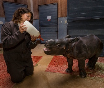 A 3-week-old greater one-horned rhino gets a bottle from keeper Jennifer Minichino at the San Diego Zoo Safari Park.