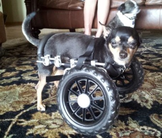 Groby Pedroni the dog gets a new set of wheels