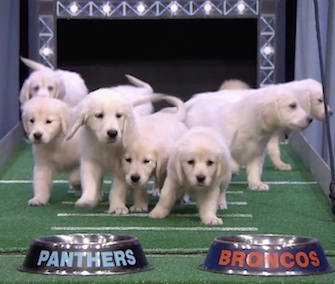 Jimmy Fallon's Golden Retriever Puppy Predictors went for the Denver Broncos.