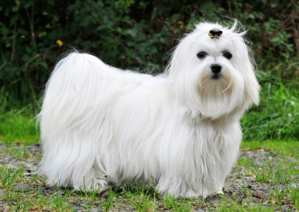 Toy Dog Breeds That Stay Small : Tiny dogs under pounds who stay cute and small