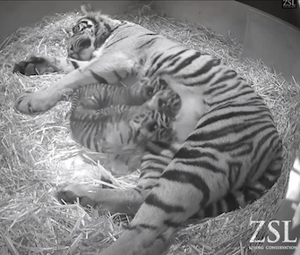 Three Sumatran tiger cubs were born last month at the London Zoo.
