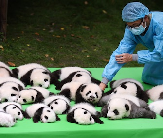 A keeper at Chengdu Research Bases places baby pandas on a stage for their debut.