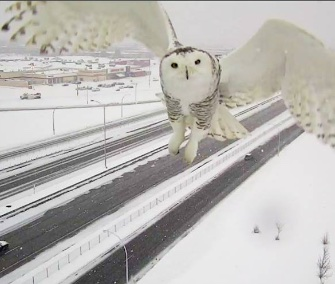 Images of a majestic snowy owl were taken by a surveillance camera over a Montreal highway.