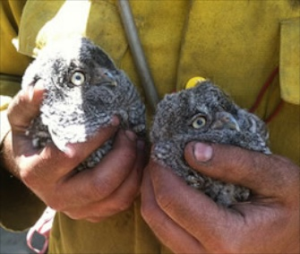 A pair of Western screech owlets was saved from a tree downed during a forest fire.