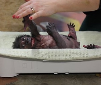Keepers at the Bristol Zoo in the U.K. are hand-rearing a newborn gorilla.