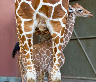 baby giraffe in Tampa