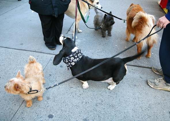 Image of: Health Benefits Multipledogswalk590mk121213jpg Sunshine Coast Daily Walking The Dog Tips To Make It Safe And Fun