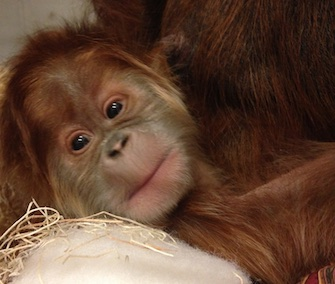A critically endangered Sumatran orangutan was born at the Saint Louis Zoo last month.