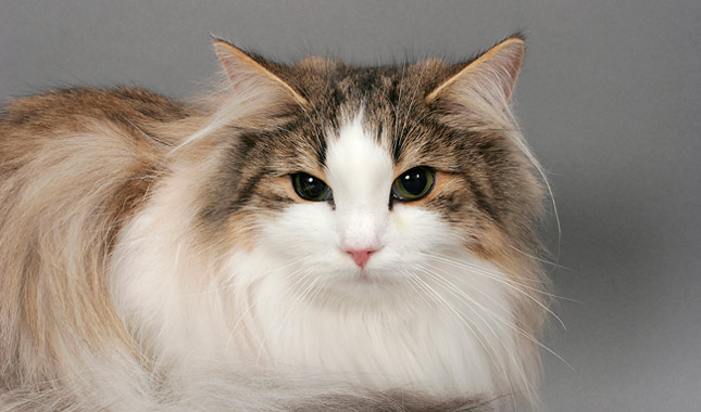 norwegian forest cat care guide
