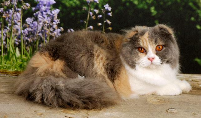 Scottish Fold / Highland Fold Cat Breed Information