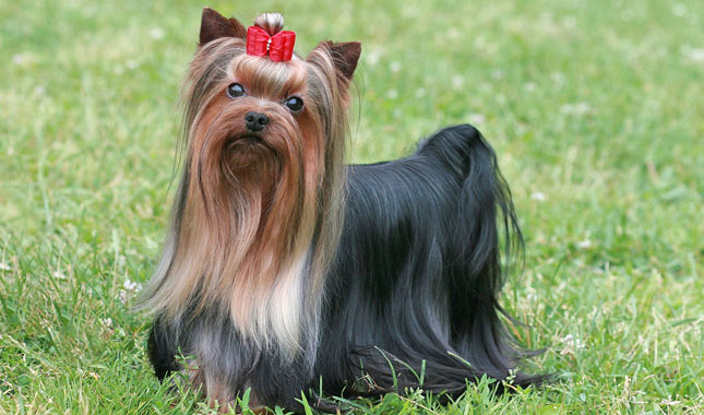 Yorkshire Terrier Dog Breed Information
