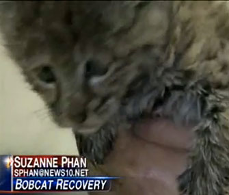 Chips, a bobcat kitten, is recovering at the Lake Tahoe Wildlife Center.
