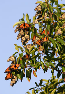 Monarch Butterflies Resting in a Tree