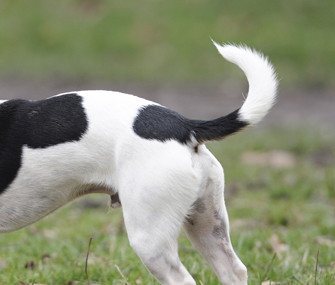 Decipher What Your Dog Is Saying With His Tail