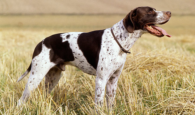 Pointer Dog Breed Information