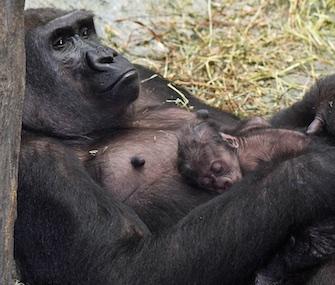 Brookfield Zoo western lowland gorilla baby Zachary
