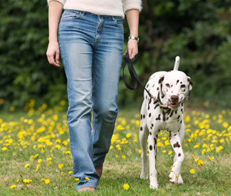Walking Dalmatian on leash