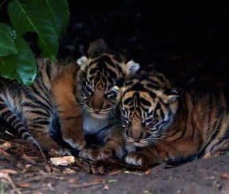Two of the three Sumatran tiger cubs born at the Chester Zoo on Jan. 2 cuddle together.