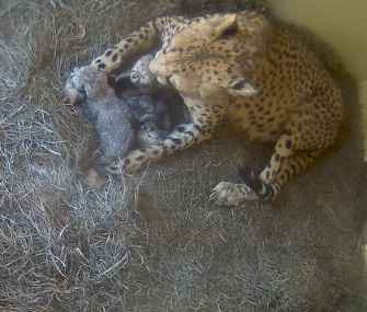 Three cheetah cubs have been snuggling with mom Sanurra in their nest box at the Smithsonian Biology Conservation Institute in Virginia.