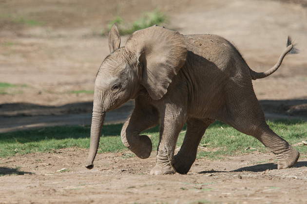 San Diego Elephant Calf