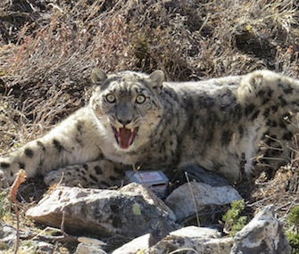 A wild snow leopard named Ghanjenzunga was outfitted with a GPS tracking collar in Nepal.